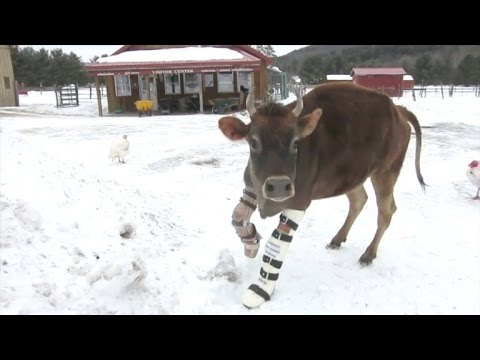 Special Needs Cow Walks with Leg Braces for the First Time