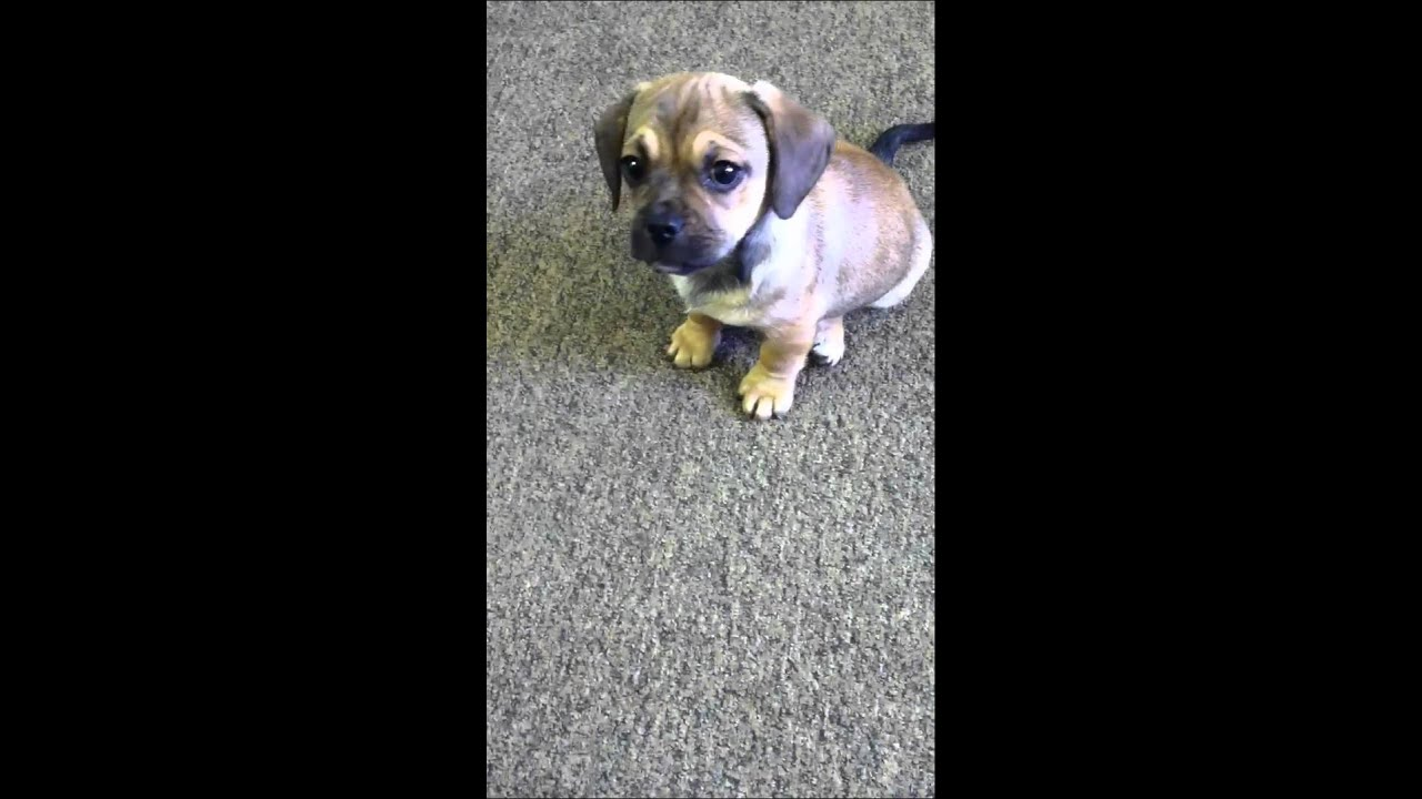 Henry Dachshund Pug Mix Learns To Shake Youtube