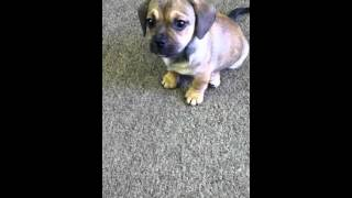 Henry- Dachshund Pug Mix Learns To Shake