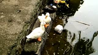 Pekin Duck Bird Couple - Birds Planet - Nature Documentary HD Bird Planet Discovery HD
