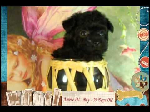 Amore III  is a male Bolonka puppy