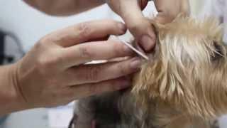 An 11-year-old Silkie Has Right Ear Aural Haematoma