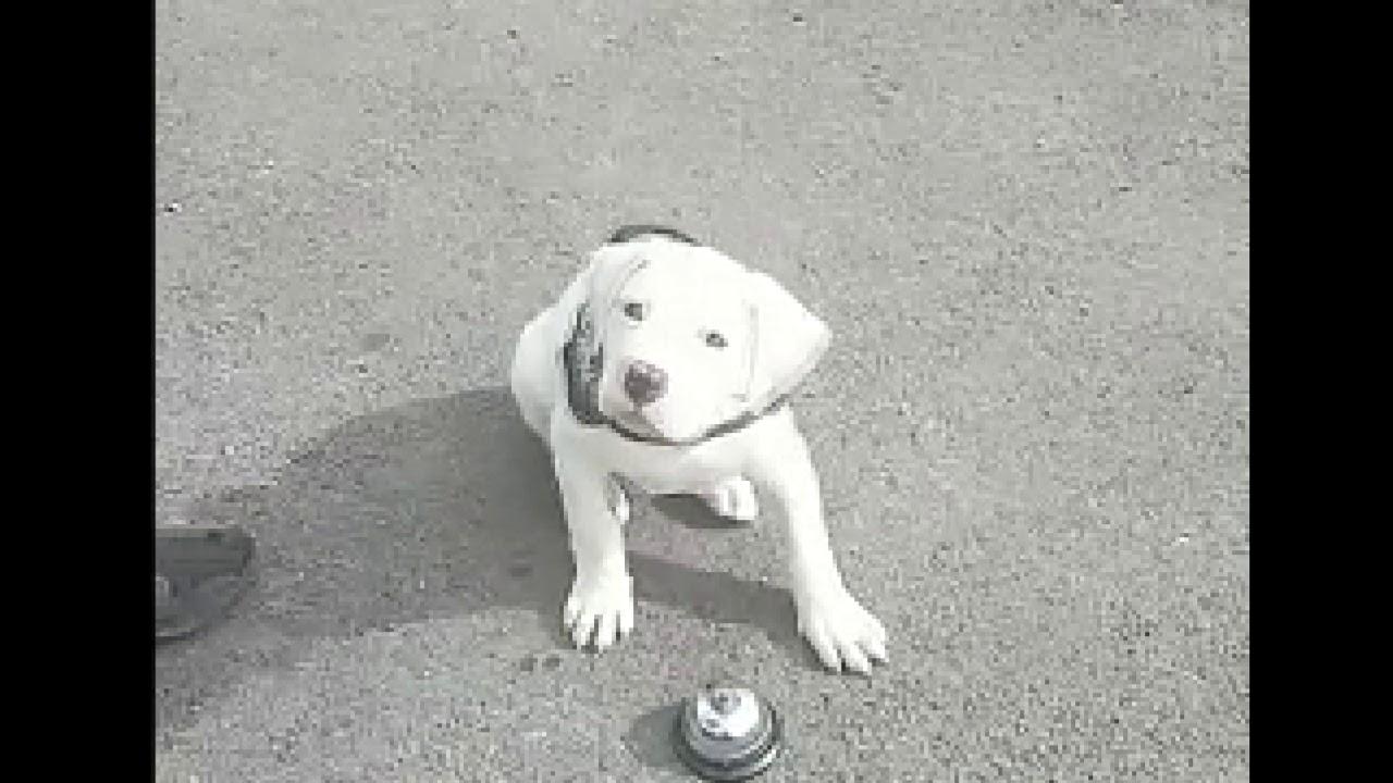 how to train an american bulldog puppy