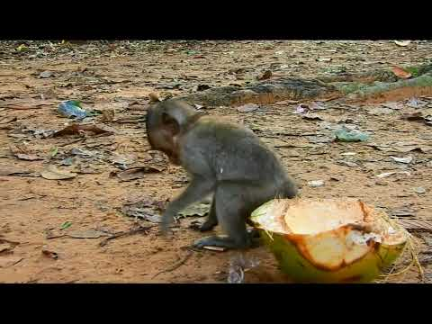 breaking-news!-50ft!-baby-monkey-lori-falls-from-tree-again,-and-she-was-found-unconscious.