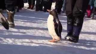 今年のペンギンの散歩です→https://youtu.be/m-TdYW1aVh4旭山動物園のペ...