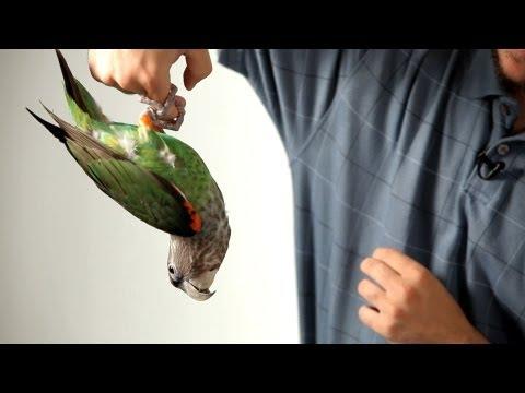 Teach Parrot to Hang on Finger like Bat | Parrot Training