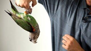 Teach Parrot to Hang on Finger like Bat   Parrot Training