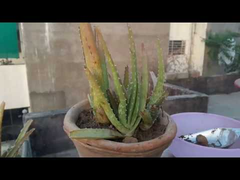 How to care Aloevera Plant || 14 April, 2017