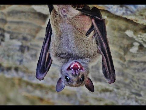 Egyptian fruit bat (Rousettus aegyptiacus)  Νυχτοπάππαρος - Φρουτονυχτερίδα - Cyprus