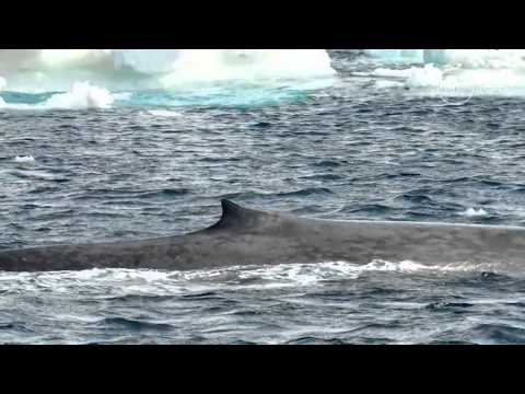 Blue whale calls in the Antarctic     01:13