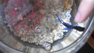 Бойцовская рыбка дает себя погладить