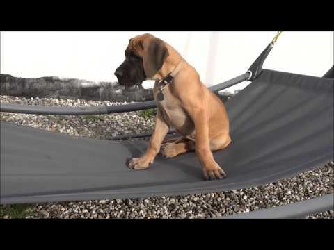 Great Dane, Konrad, enjoying the hammock