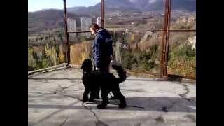 Булат, русский черный терьер, 1 год 6мес