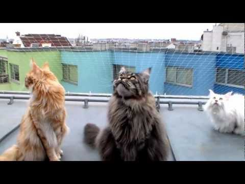 Thumbnail for Cat Video Maine Coons Chattering at City Birds