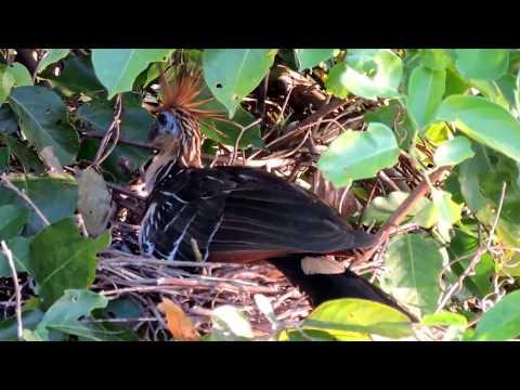 Capital Naturalist: Hoatzin On Its Nest