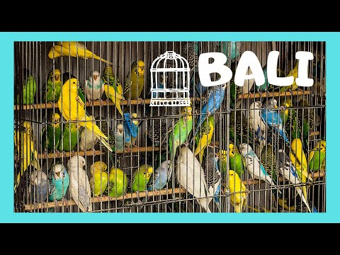 BALI, the graphic BIRD MARKET (Pasar Burung) in Denpasar (INDONESIA)