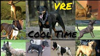 Top20 amazing cross breds Bull terrier #10(Doberman, Greyhound, Labrador, Rottweiler, Malinois...
