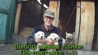 Выбор щенка лайки  Посоветуйте :-))