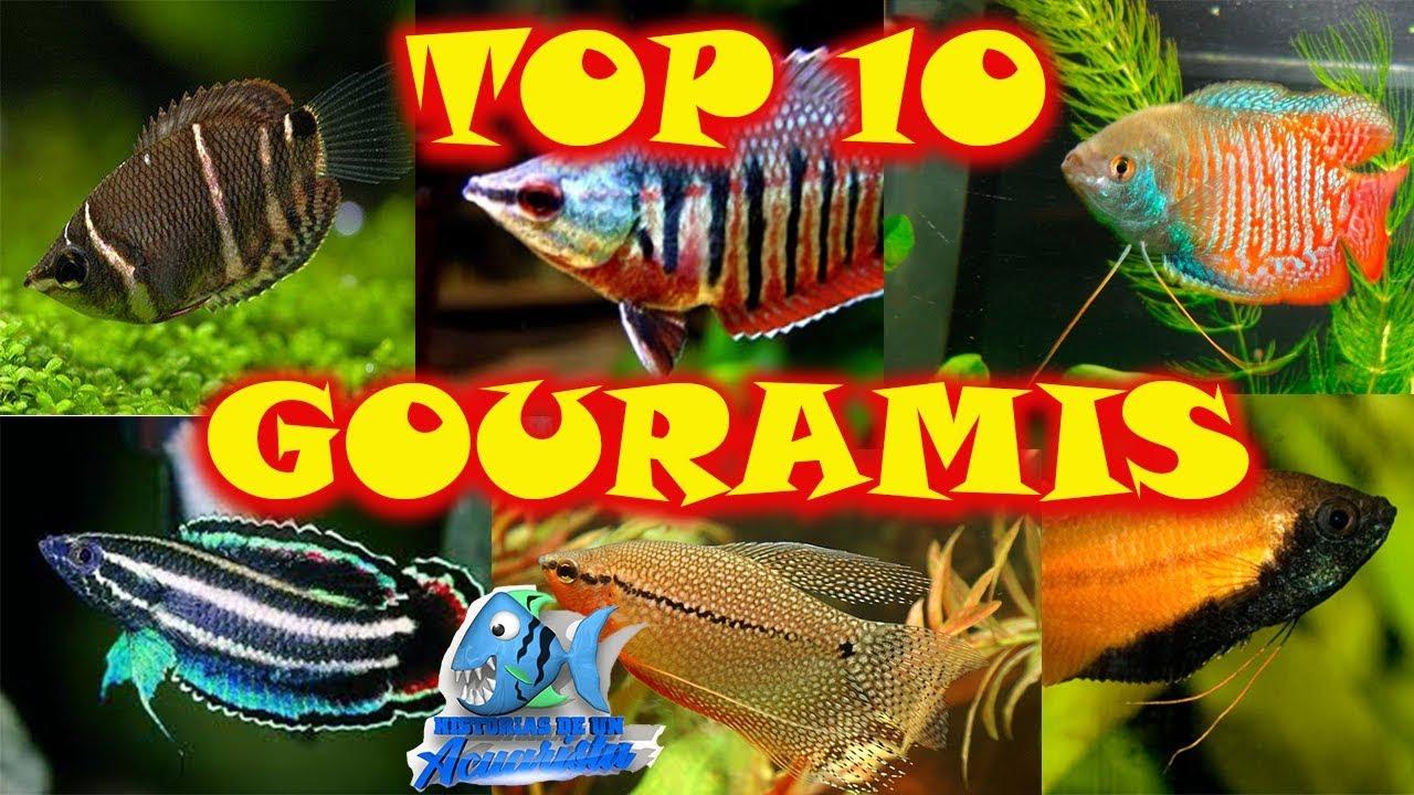 Dactylogyrus paraziták gourami Miért hal meg hal a akváriumban? Akvárium kezdőknek