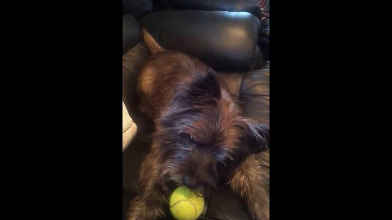Most Inspiring Cairn Terrier Ball Adorable Dog - maxresdefault  HD_37682  .jpg