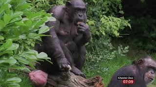 Baby chimp born in front of visitors (Chester Zoo) (UK) - BBC News - 20th July 2019