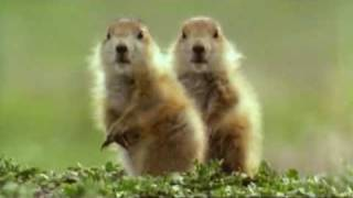 Talking Prarie dogs - Walk on the wild side