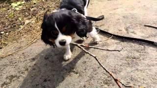 Cavalier Kc Puppy Bentleys Travels Cragside Ep39