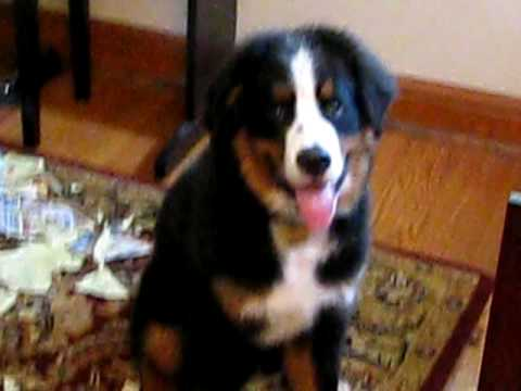 Bernese Mountain Dog getting into trouble