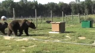 Медведи и пасека
