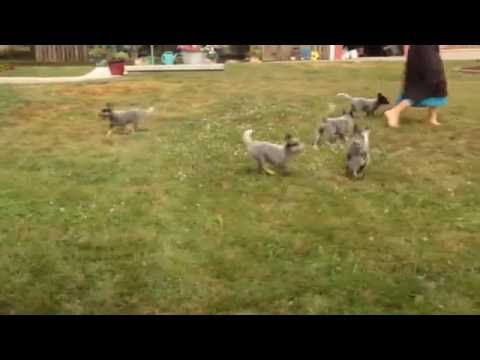 Blue Heeler Australian Cattle Dog Puppies For Sale