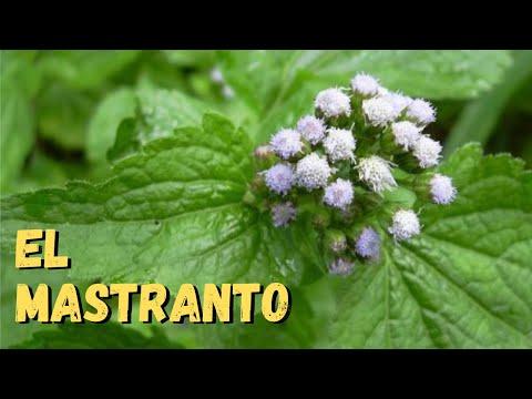 Plantas medicinales mastranto para q sirve el mastranto for Como se planta la lavanda