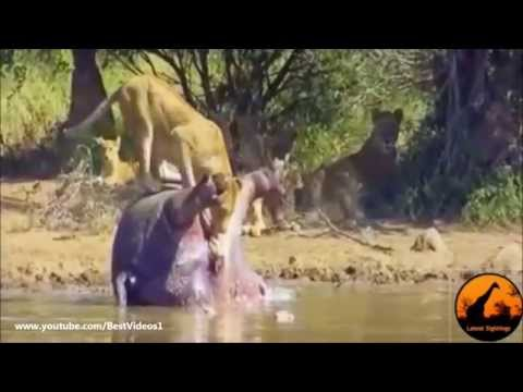 Смешные Бегемоты - Funny Hippo Compilation