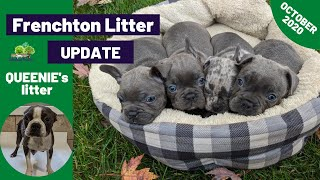 Lovely Frenchton Puppies - Queenie's Litter Update 10/28/2020