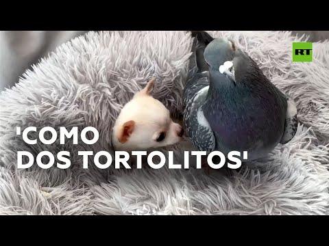 Una paloma y un chihuahua, la pareja viral más cariñosa