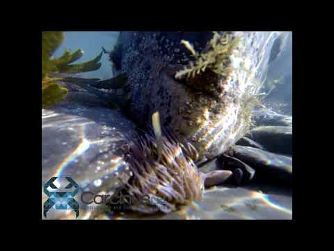 Marine Ecology - including Snakelocks anemones and marine algal species - Carcinus Ltd