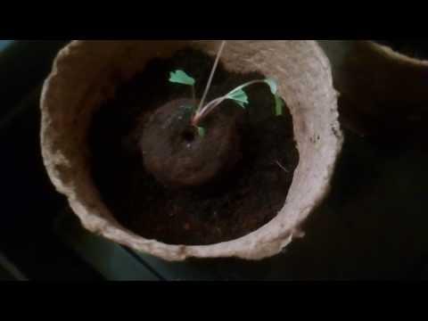 Пересадка земляники в торфяные горшочки