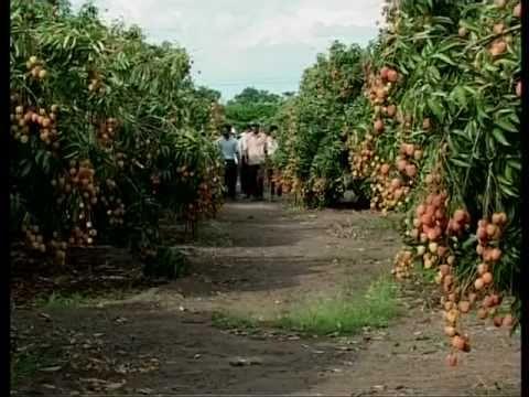 Mùa vải ngọt  trên đất Cao nguyên, Lychee season in Dak lak  2011