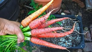 Growing Carrots in Containers - Delicious & Healthy!