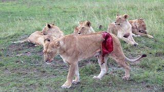 Спасение молодой львицы - Новая кровь