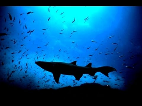 Vanishing Grey Nurse Shark