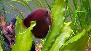 discus laying eggs