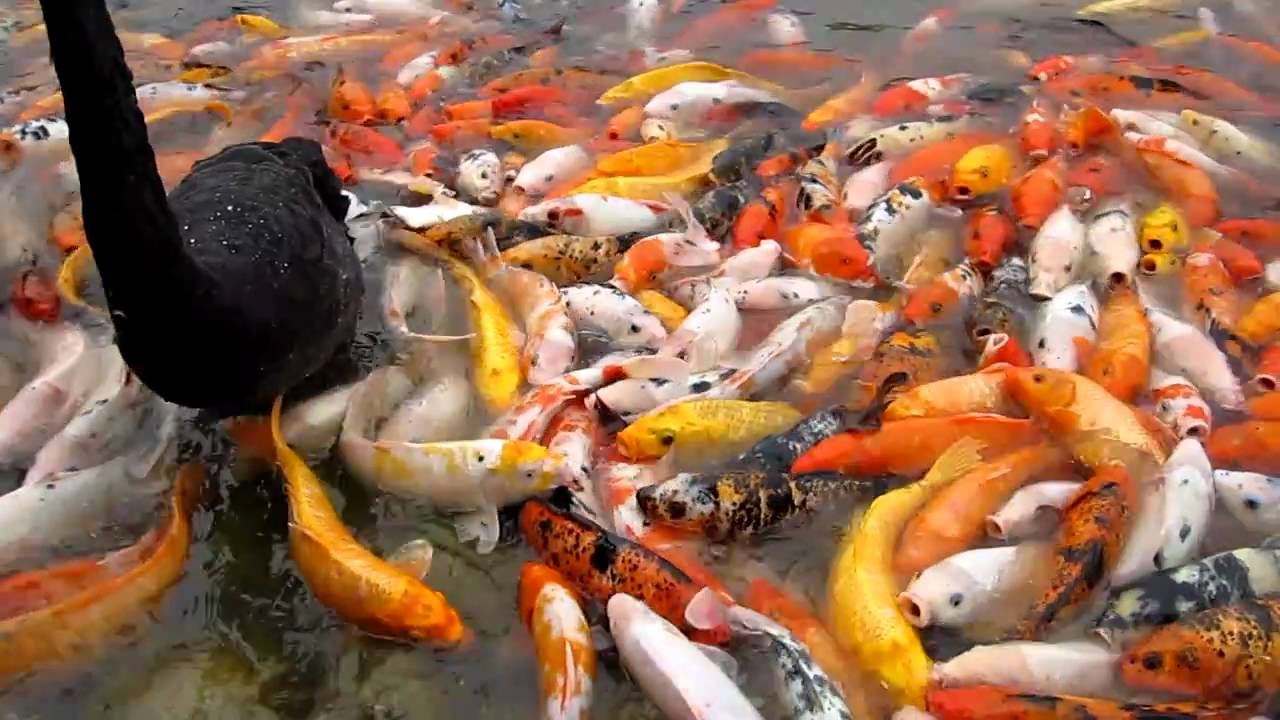 Koi fish in china youtube for Chinese coy fish