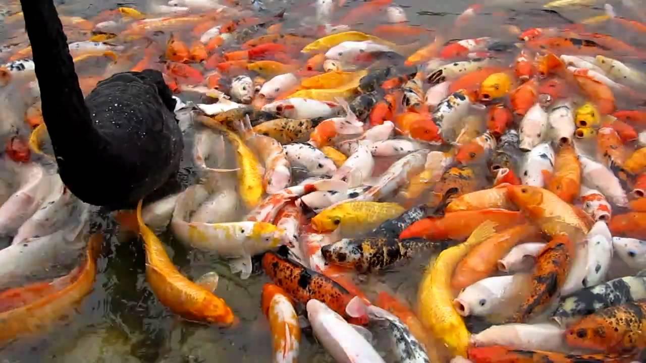 Koi fish in china youtube for Keeping koi fish