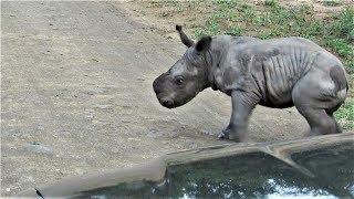 試圖「攻擊」車輛的淘氣犀牛寶寶  《國家地理》雜誌