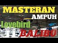 Tes Mental Lovebird Paud Masteran Vidio Lomba Lovebird  Mp3 - Mp4 Download