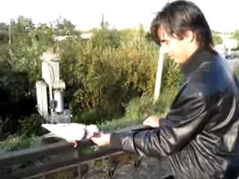 Как покормить голубя с рук?