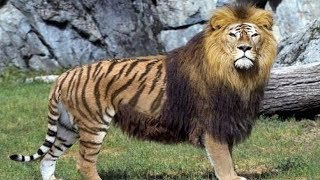 Repeat youtube video 10 Animales Híbridos Que No Creerás Que Existen