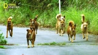 """今回の主なテーマ : """"【国頭】国頭村楚洲と安田周辺で野犬が数十匹群れ..."""