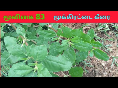 மூக்கிரட்டை கீரையின் பயன்கள் Zaleya decandra mookkirattai herbal 