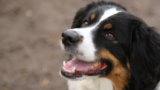 Australian Shepherd 101: Is the Australian Shepherd Dog Breed Right For You?